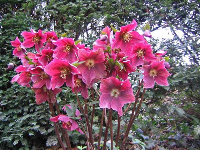 Названия морозника на разных языках на редкость единодушны: зимовник, зимняя роза, рождественский цветок – все указывают на холодное время года. Они начинают, а в странах с мягким климатом и заканчивают садовый сезон, распускаясь прямо из-под снега и часто доцветая осенью. Строго говоря.