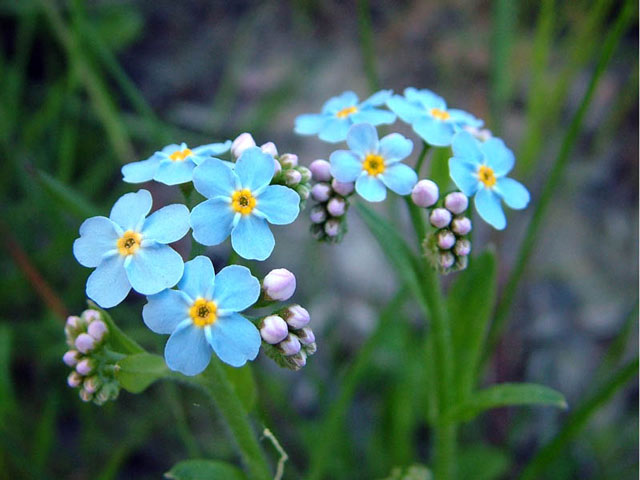 Незабудки описание, выращивание, посадка, уход, фото цветка