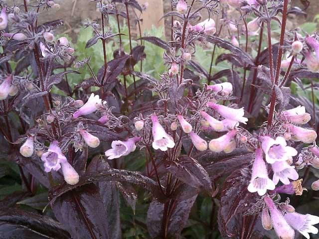 Пенстемон выращивание из семян, посадка и уход, фото