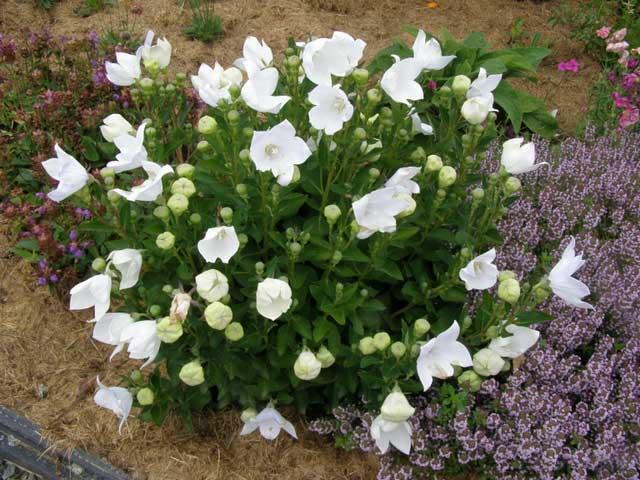 Платикодон фото. Платикодон посадка и уход в открытом грунте, выращивание.