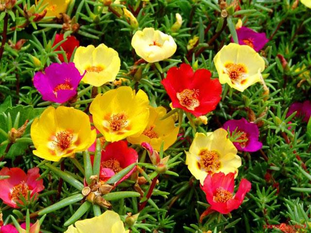 Портулак фото. Цветы портулак выращивание из семян, посадка и уход.
