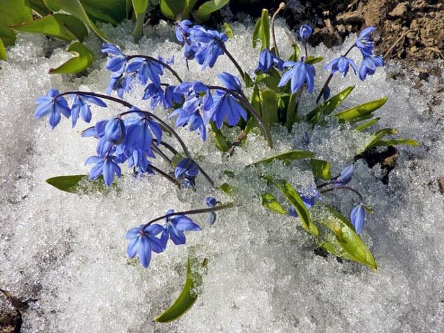 Пролеска первые цветы из под снега, посадка, описание, уход, фото.