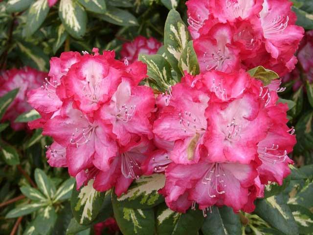 Рододендрон цветок