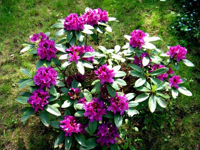 Рододендрон фото. Цветок рододендрон посадка и уход, размножение и болезни