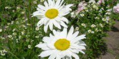 Ромашки фото, выращивание ромашки, посадка, уход размножение цветов