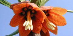 Рябчик посадка и уход, выращивание и размножение. Цветок рябчик фото.