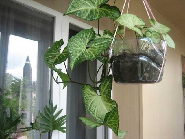 Сингониум выращивание в комнатных условиях, посадка и уход, фото.