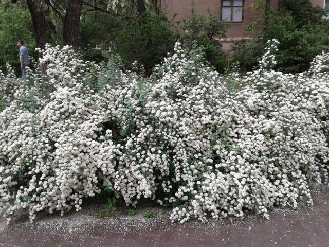 Снежноягодник - декоративный кустарник, посадка и уход. Снежноягодник фото.