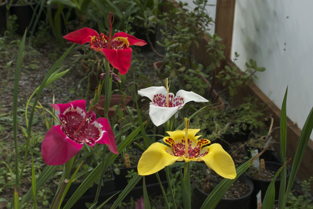 Тигридия посадка и уход в открытом грунте. Цветок тигридия фото.