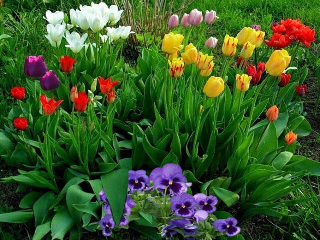 Тюльпаны выращиваем в открытом грунте, посадка и уход за тюльпанами. Тюльпаны фото.