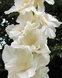 Гладиолус «Белый орел»