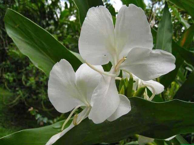 Имбирная лилия фото.