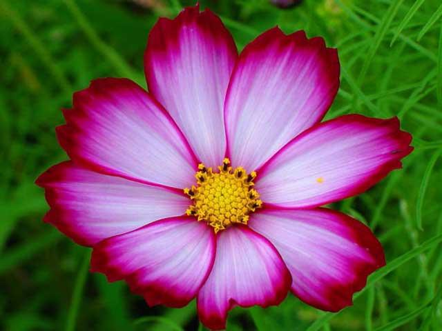 Космея цветы описание и 73