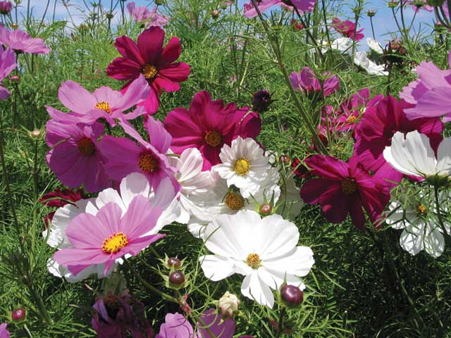 Космея цветы описание и 36