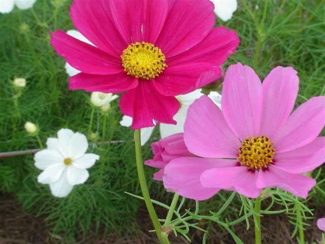Космея фото. Цветы космея выращивание из семян, посадка и уход.