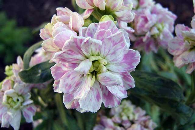 Левкой фото. Цветок левкой выращивание в открытом грунте.