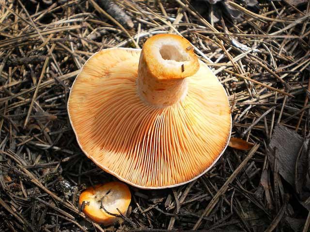 Рыжик - съедобный гриб, где и как растет, фото гриба рыжик.