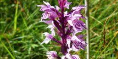Ятрышник - красивый цветок и лекарственное средство. Фото.