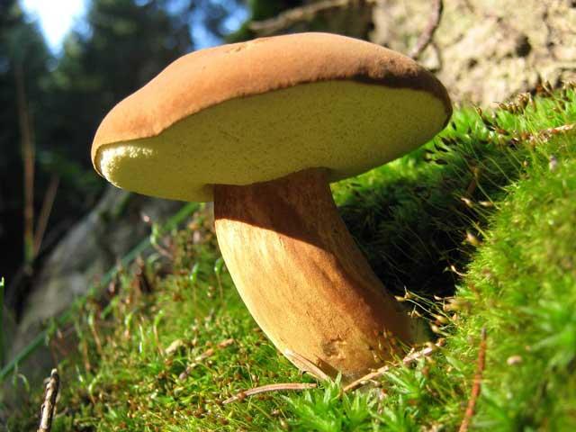 Польский гриб фото и описание, где и в какое время собирать польский гриб.
