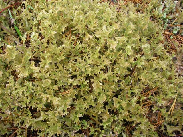 Исландский мох лечебные свойства, сбор и сушка.