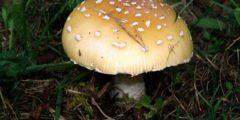 Мухомор жемчужный фото и описане, где растет и в какое время.