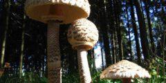 Зонтик пестрый фото и описание, где и когда собирать этот гриб.