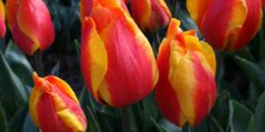 Тюльпаны: описание, классы, сорта фото цветов тюльпанов