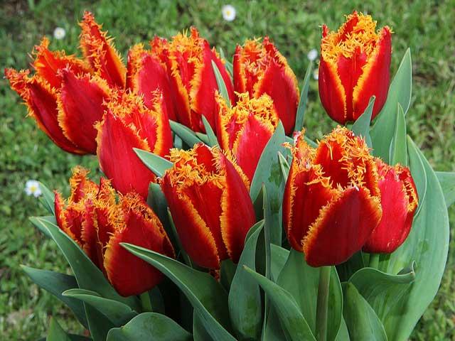 Бахромчатые тюльпаны описание и фото сортов.