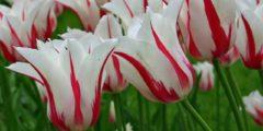 Лилиецветные тюльпаны описание и фото сортов.