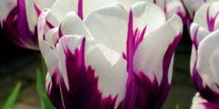 Дарвиновы гибриды сорта тюльпанов с описанием и фото.