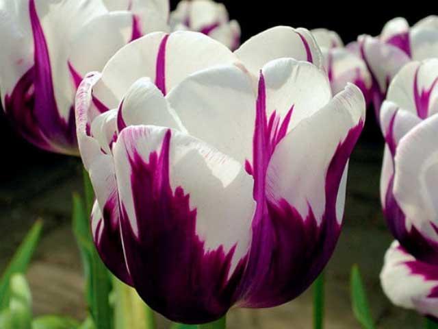 Тюльпан гибрид дарвина блашинг апельдорн