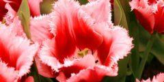 Махровые тюльпаны ранние