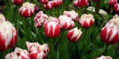 Простые ранние тюльпаны. Описание и фото тюльпанов.