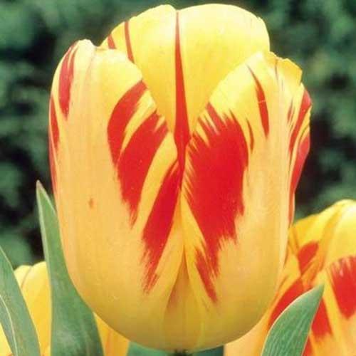 Сорт тюльпана Олимпик Флейм (Olympic Flame). Фото.