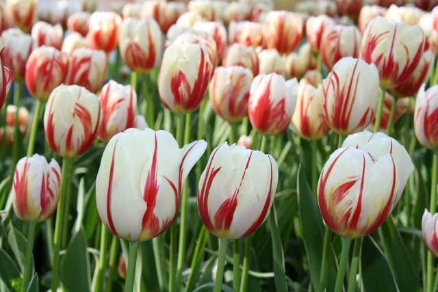 Сорт тюльпана Сорбет (Sorbet). Фото.