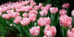 Махровые поздние тюльпаны описание и фото тюльпанов.