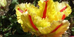 Попугайные тюльпаны описание сортов с фото тюльпанов