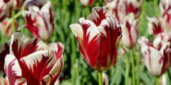 Тюльпаны Рембрандт фото и описание сортов тюльпанов.