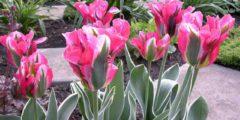 Зеленоцветные тюльпаны описание и фото сортов тюльпанов.