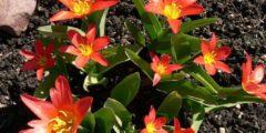 Тюльпаны Кауфмана описание сортов с фото тюльпанов
