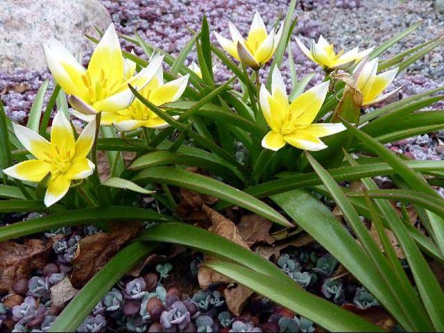 Сорт тюльпана Дасистемон Тарда (Dasystemon Tarda) описание и фото.