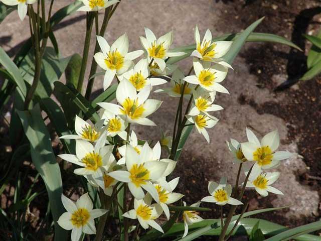 Сорт тюльпана Туркестаника (Turkestanica) описание и фото.