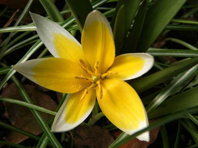 Дикорастущие тюльпаны (ботанические виды) описание и фото сортов.