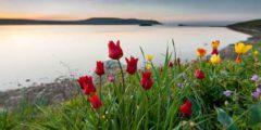 Дикорастущие тюльпаны (ботанические виды) описание и фото сортов