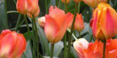 Тюльпаны Фостера описание с фото сортов тюльпанов.