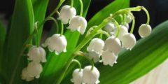 Ландыш майский сбор и заготовка растения в лекарственных целях. Фото.