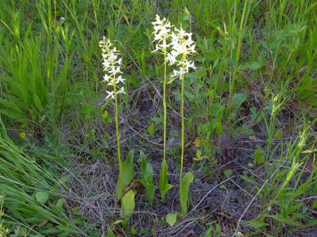 Любка двулистная, ночная фиалкa (Platanthera bifolia Rich.)  фото.