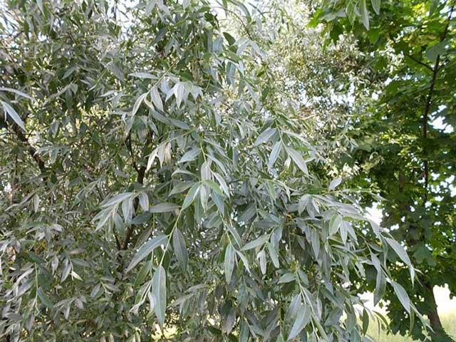 Ива белая, ветлa (S* alba L.)  описание и фото.
