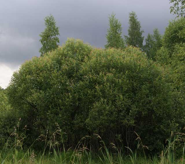 Ива ломкая, ракита (S. fragilis L.) описание и фото.