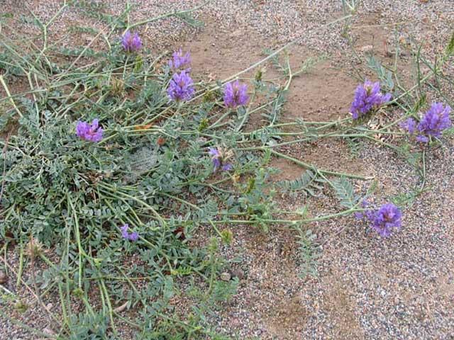 Кумарчик песчаный применение, сбор и фото растения.